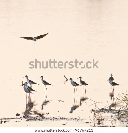 Black-winged Stilt Bird in the Lake - stock photo