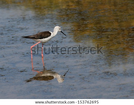 Black-winged stilt bird with long tapered legs walking in the pond in search of food 1 - stock photo