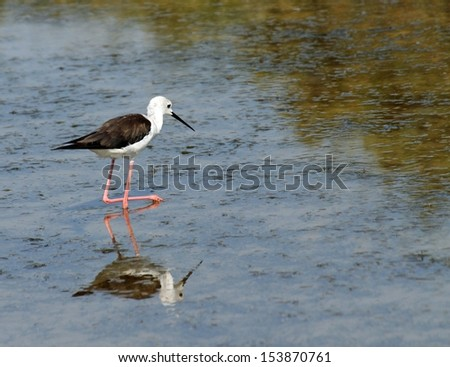 Black-winged stilt bird with long tapered legs walking in the pond in search of food 2 - stock photo