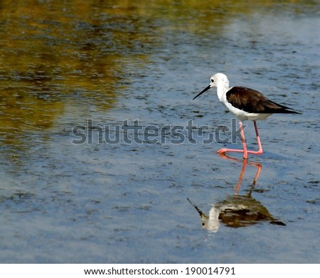 Black-winged stilt bird with tapered legs walking in the pond - stock photo