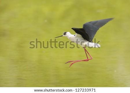 Black-winged Stilt, Common Stilt, or Pied Stilt (Himantopus himantopus) - stock photo