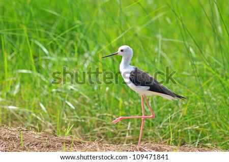 Black-winged Stilt in nature - stock photo