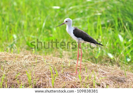 Black-winged Stilt in nature,Bird - stock photo
