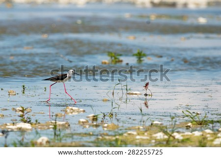 black-winged stilt looking at you and reflecting on water - stock photo