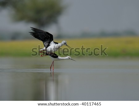 Black-winged Stilt - Mating in the lake.