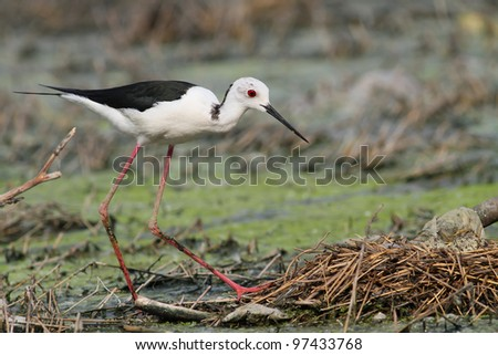 Black winged stilt near nest with eggs