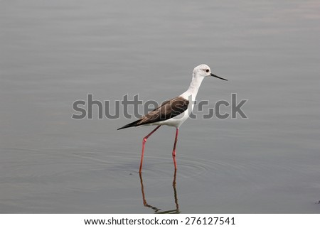 Black Winged Stilt seeking worms in the water