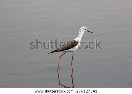 Black Winged Stilt seeking worms in the water - stock photo