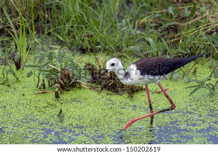 black winged stilt, Shorebirds  - stock photo