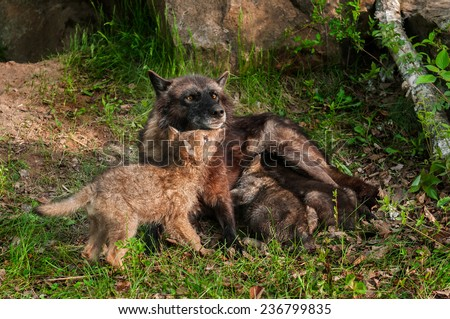 Black Wolf (Canis lupus) Feeds Her Pups - One Under Chin - captive animals - stock photo