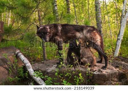 Black Wolf (Canis lupus) Feeds Her Pups Standing on Rock - captive animal - stock photo