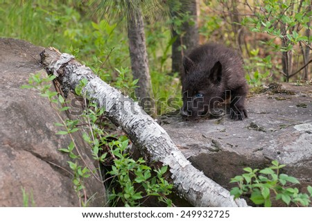 Black Wolf (Canis lupus) Pup Stalks Left over Branch - captive animal - stock photo