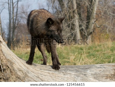 Black wolf on a tree - stock photo