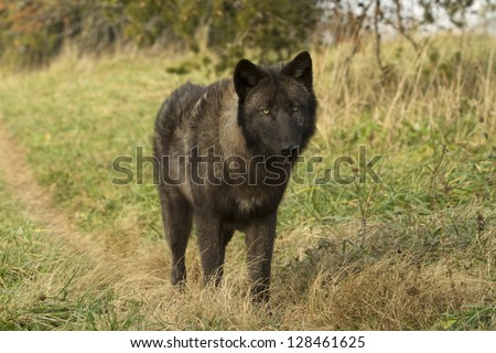 Black Wolf on Trail - stock photo