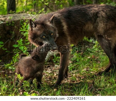 Black Wolf Pup (Canis lupus) Licks Mother's Mouth - captive animals - stock photo