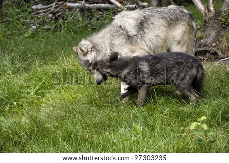 Black Wolf Pup Playfully Biting Mom - stock photo