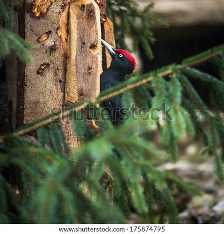 Black Woodpecker (Dryocopus martius) - stock photo