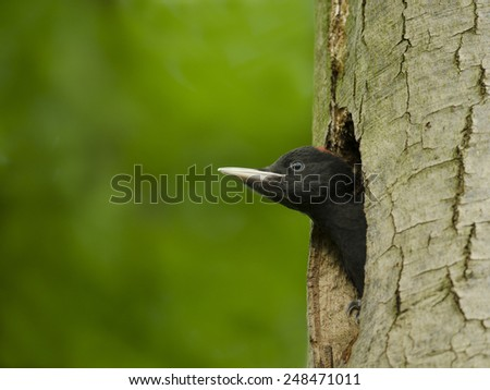 Black Woodpecker Juvenile  - stock photo