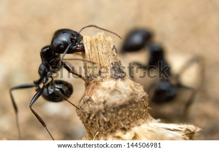 Black worker ants dragging vegetation to the colony - stock photo