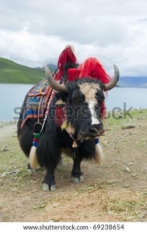 Black yak - stock photo