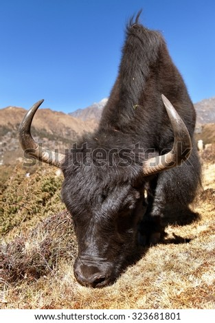Black yak ak on the way to Everest base camp - Nepal