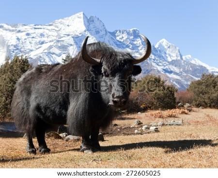 Black yak on the way to Everest base camp and mount Kongde - Nepal - stock photo