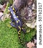 Black yellow dotted salamander on a stump covered with moss - stock photo