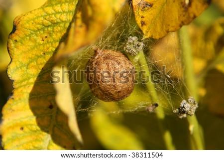 Black yellow garden spider egg sac stock photo royalty free 38311504 shutterstock for Garden spider egg sac