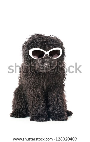 Black young poodle with sunglasses - stock photo