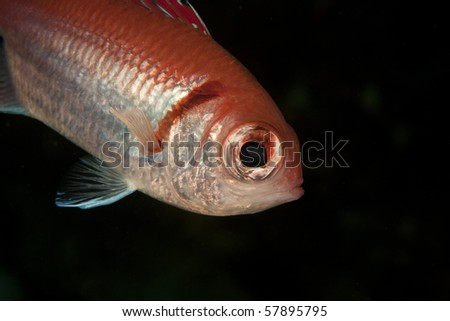 Blackbar Soldierfish (Myripristris jacobus) on a tropical coral reef in Bonaire, Netherlands Antilles.