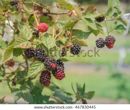 Blackberries at local organic farm in Texas, US. Fresh ripe and unripe berries ready for harvest. Healthy food concept and agriculture backgroud.