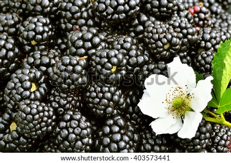 Blackberries background with a flower. Close up, top view, high resolution product. Harvest Concept