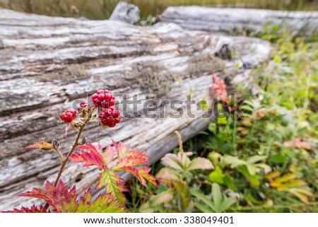 Blackberries bush brunch - stock photo
