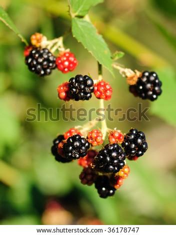 Blackberries ripening on the vine - stock photo