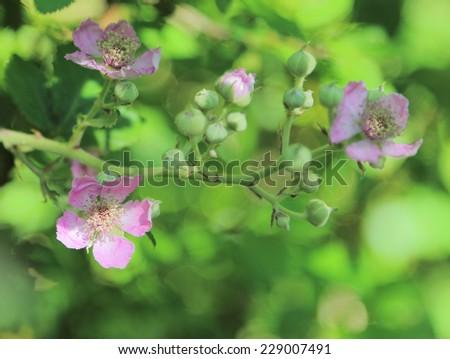 blackberry flowers - stock photo