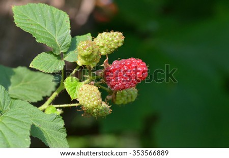 Blackberry fruit growing on branch in the garden - stock photo