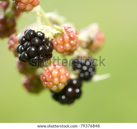 Blackberry fruit on the vine under various stages of development. Backlit at sunset with off-camera flash used for fill. - stock photo