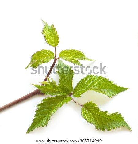Blackberry leaf isolated on the white background