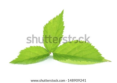 blackberry leaf on a white background