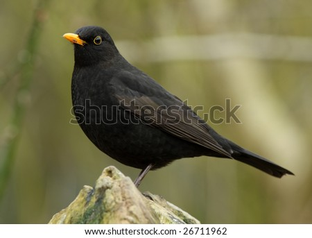 blackbird in the garden - stock photo