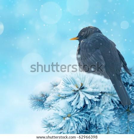 blackbird in winter time - stock photo