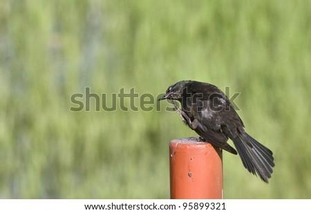 Blackbird on Post in Saskatchewan Canada summer - stock photo