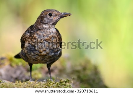 Blackbird (Turdus merula) in a waterhole in the forest