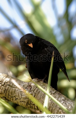 Blackbird, Turdus merula - male.