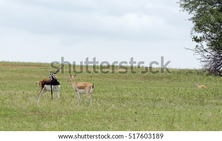 Blackbuck Antelope pair standing in grassland