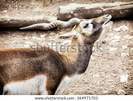 Blackbuck (Antilope cervicapra) is an ungulate species of antelope native to the Indian subcontinent that has been listed as Near Threatened on the IUCN Red List since 2003. - stock photo