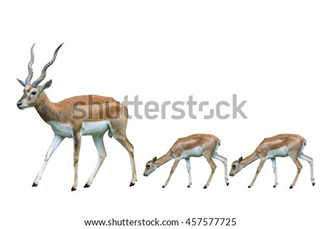 Blackbuck (Antilope cervicapra) isolated on white background