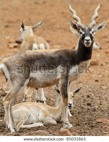 Blackbuck family in zoo - stock photo