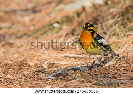 Blackburnian Warbler - stock photo