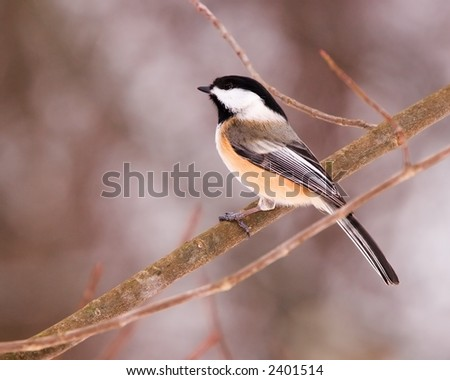 Blackcap Chickadee - stock photo